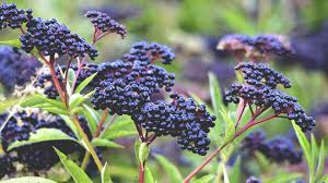 black-elderberry.jpg